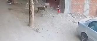 Отважный кот спас ребёнка от нападения бродячей собаки